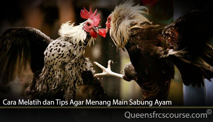Cara Melatih dan Tips Agar Menang Main Sabung Ayam