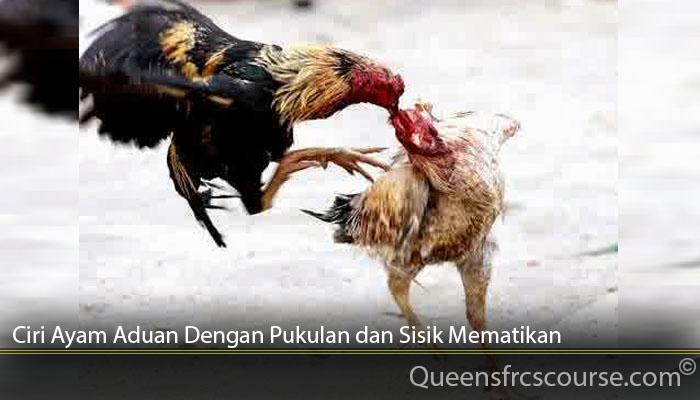 Ciri Ayam Aduan Dengan Pukulan dan Sisik Mematikan