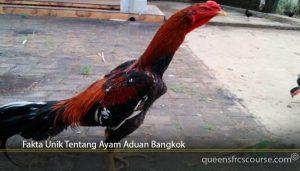 Fakta Unik Tentang Ayam Aduan Bangkok