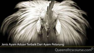 Jenis Ayam Aduan Terbaik Dari Ayam Petarung